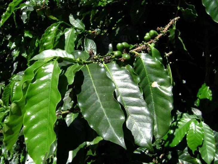Coffea arabica berries