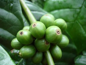 Coffea canephora (robusta) berries